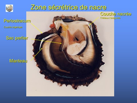 Présentation de l'huître nacrière de Tahiti