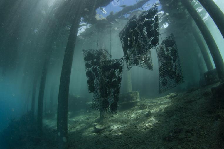 Quand les huîtres perlières absorbent les microplastiques - Article publié par Tahiti Infos